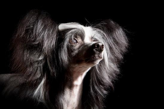 Der chinesische Nackthund gehört zu den beliebtesten Hunderassen die nicht haaren.
