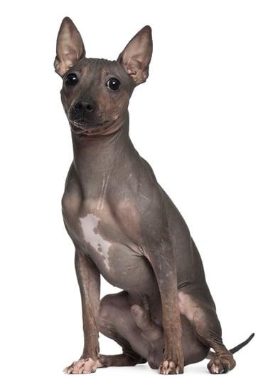 Der American Hairless Terrier hat die typischen Charakterzüge eines Terriers.