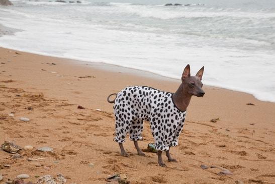 Ein mexikanischer Nackthund friert sehr schnell und muss vor Kälte geschützt werden.