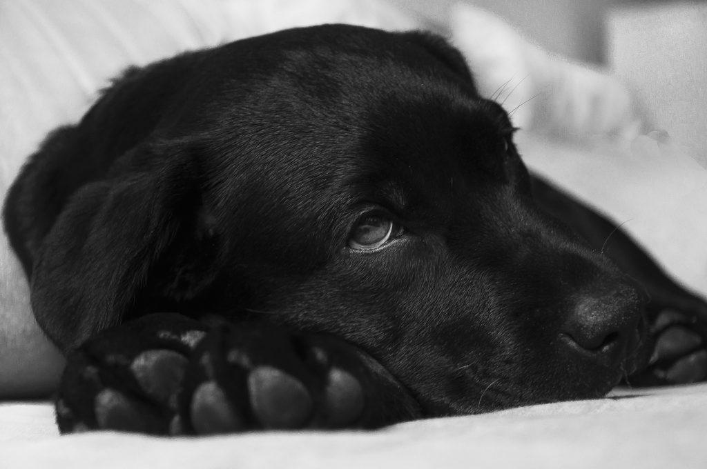 Eine trockene Hundenase kann ein Indikator für eine Krankheit sein