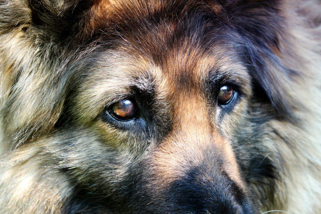 Wer Hundesprache verstehen will, sollte besonderen Fokus auf die Augen der Hunde legen.