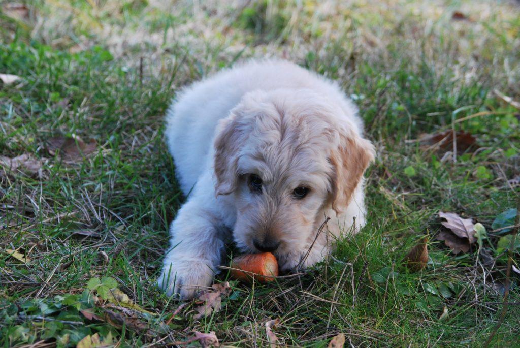 Rohkost ist perfekt für Hunde, die Durchfall haben.