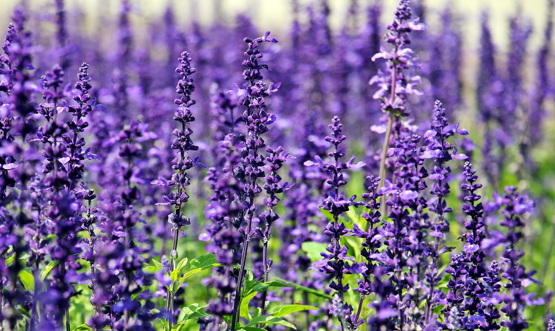 Auch Lavendel hilft bei Bidnehautentzündungen bei Hunden.