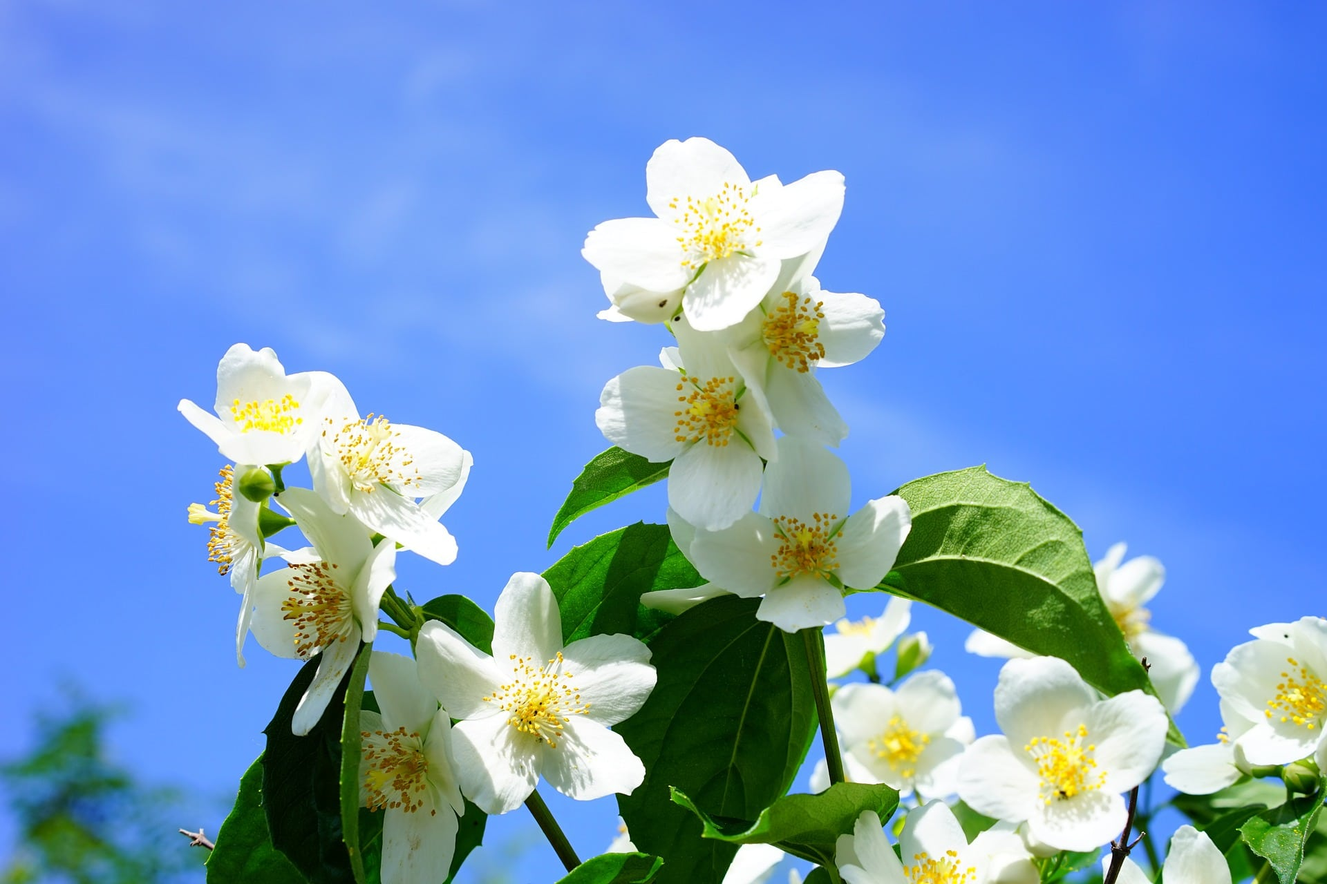 Jasminblüten sind ein asitatisches Hausmittel