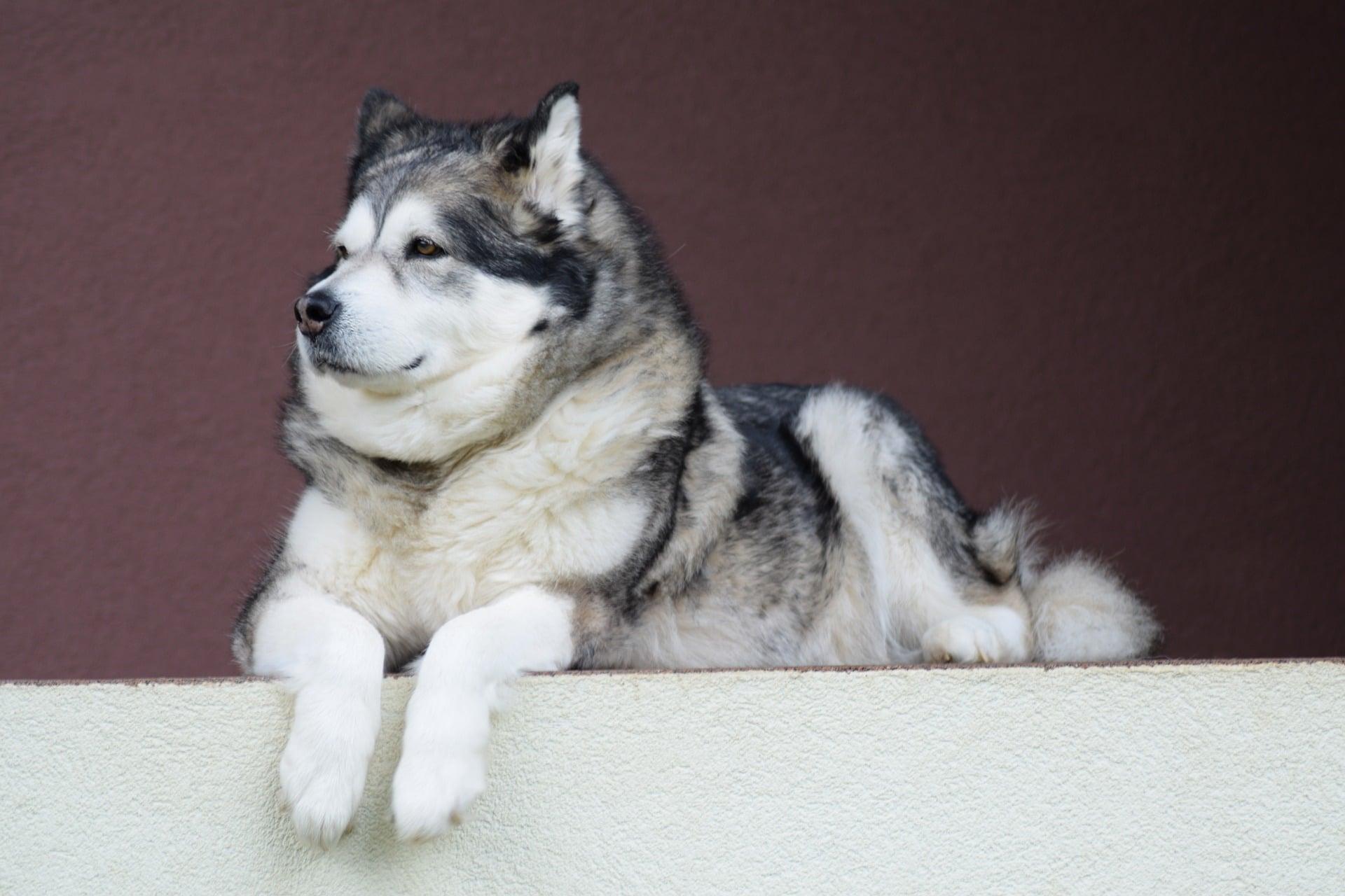 Der Alaskan Malamute ist eine grosse süsse Hunderasse.