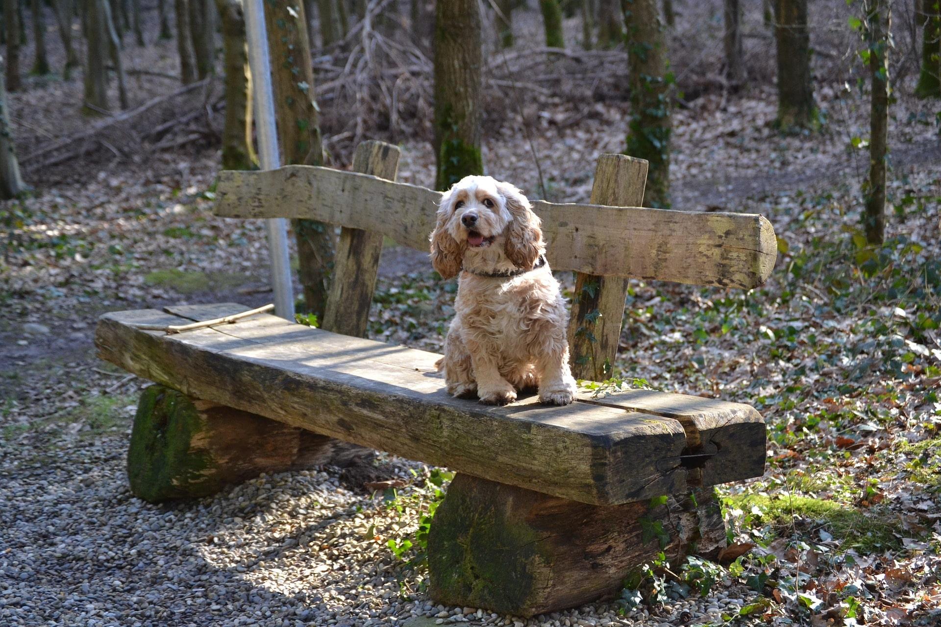 Nicht umsonst gehört der Cocker Spaniel zu den beliebtesten Hunderassen.