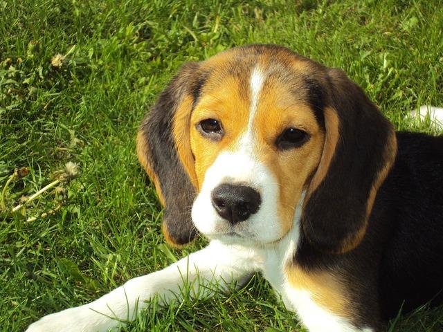 Auch der Beagle ist eine süße Hunderasse.
