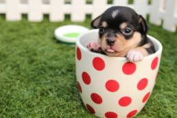 Chihuahua gehört zu süsse Hunde.