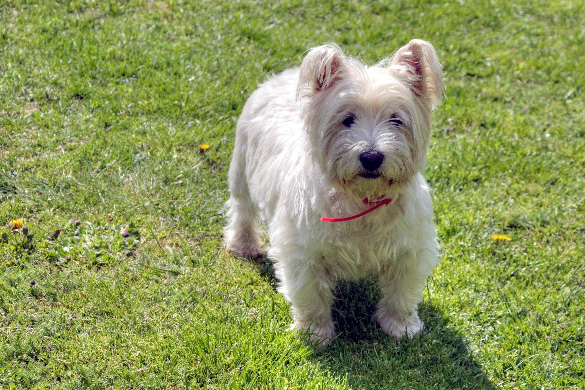Der West Highland Terrier ist eine wirklich besonders süsse Hunderasse.