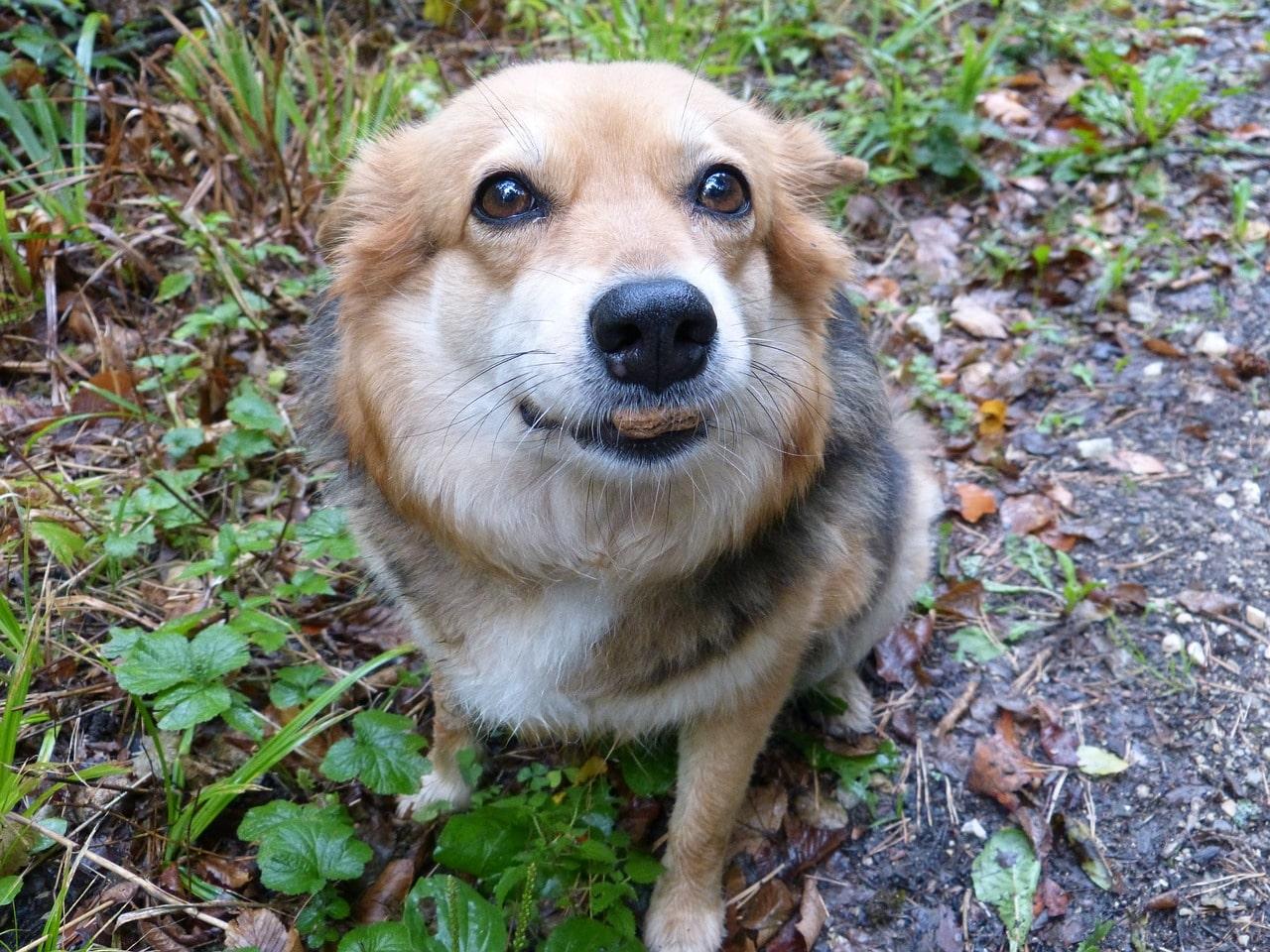 Häufig fressen Hunde, die zu häufig menschliches Essen bekommen, nichts.
