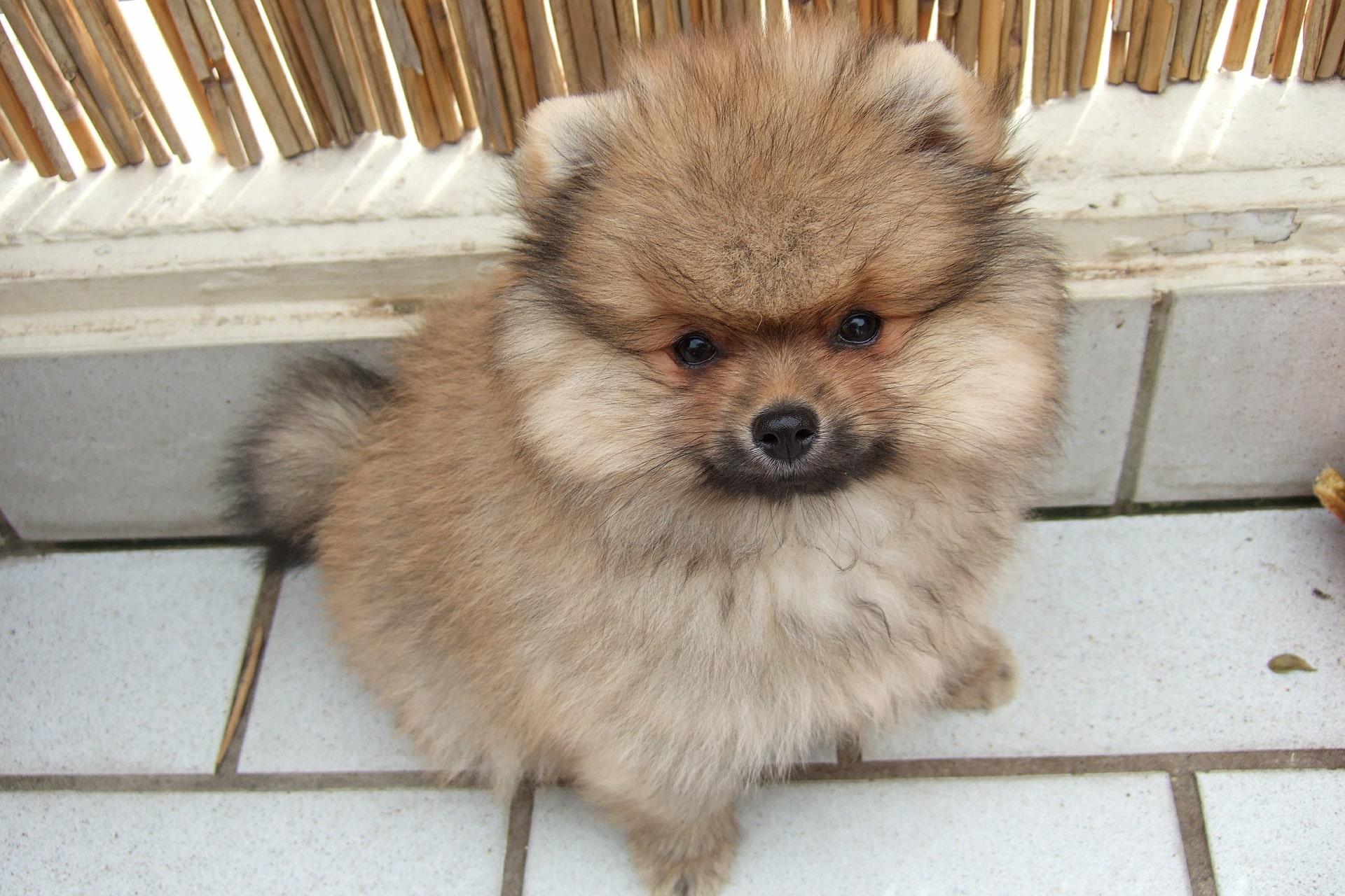 Auch der Zwergspitz ist eine sehr süsse Hunderasse.