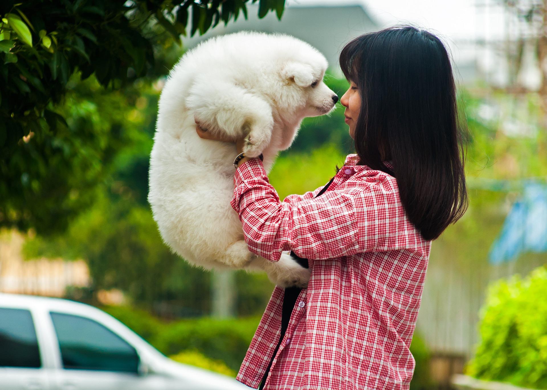 Der Samojede ist eine asiatische Hunderasse.