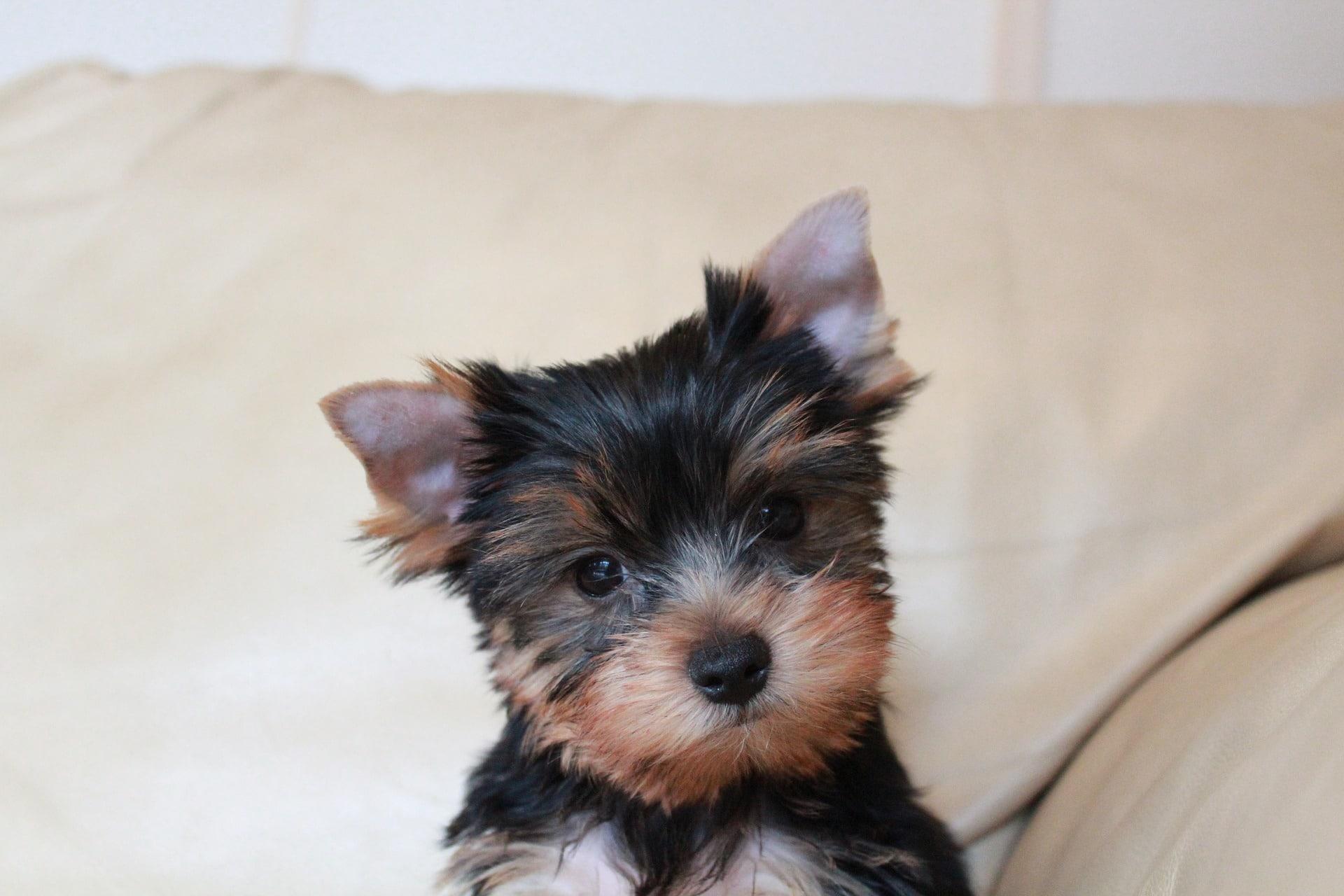 Der Yorkshire Terrier ist eine sehr beliebte Hunderasse in Deutschland