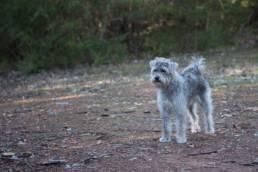 Der Schnoodle ist eine der beliebtesten Hybrid-Hunderassen.