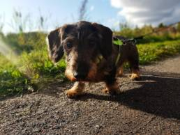 Der Dackel ist eine der beliebtesten deutsche Hunderassen.