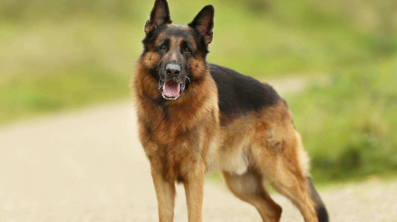 Die beliebteste deutsche Hunderasse im Ausland ist wohl der Schäferhund.