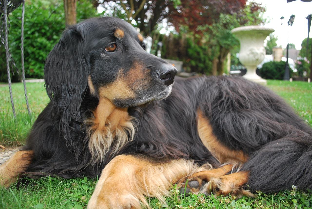 Der Hovawart ist ein beliebter Hofhund.