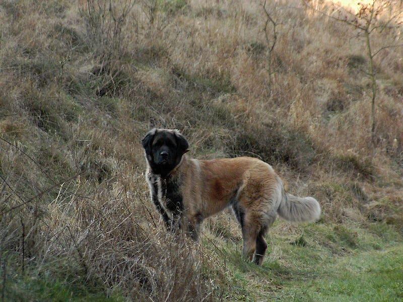 Der germanische Bärenhund hat ein imposantes Erscheinungsbild.