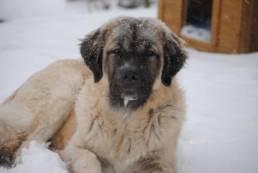 Der Germanische Bärenhund liebt Auslauf im Schnee.
