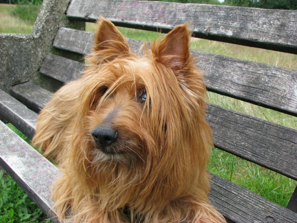 Australian Terrier, der kleine Sonnenschein