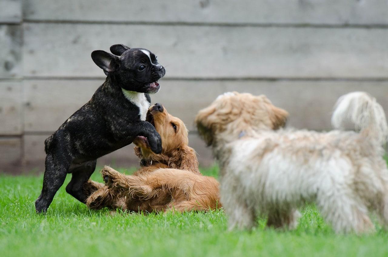 Die französische Bulldogge liebt das Spielen mit anderen Welpen.