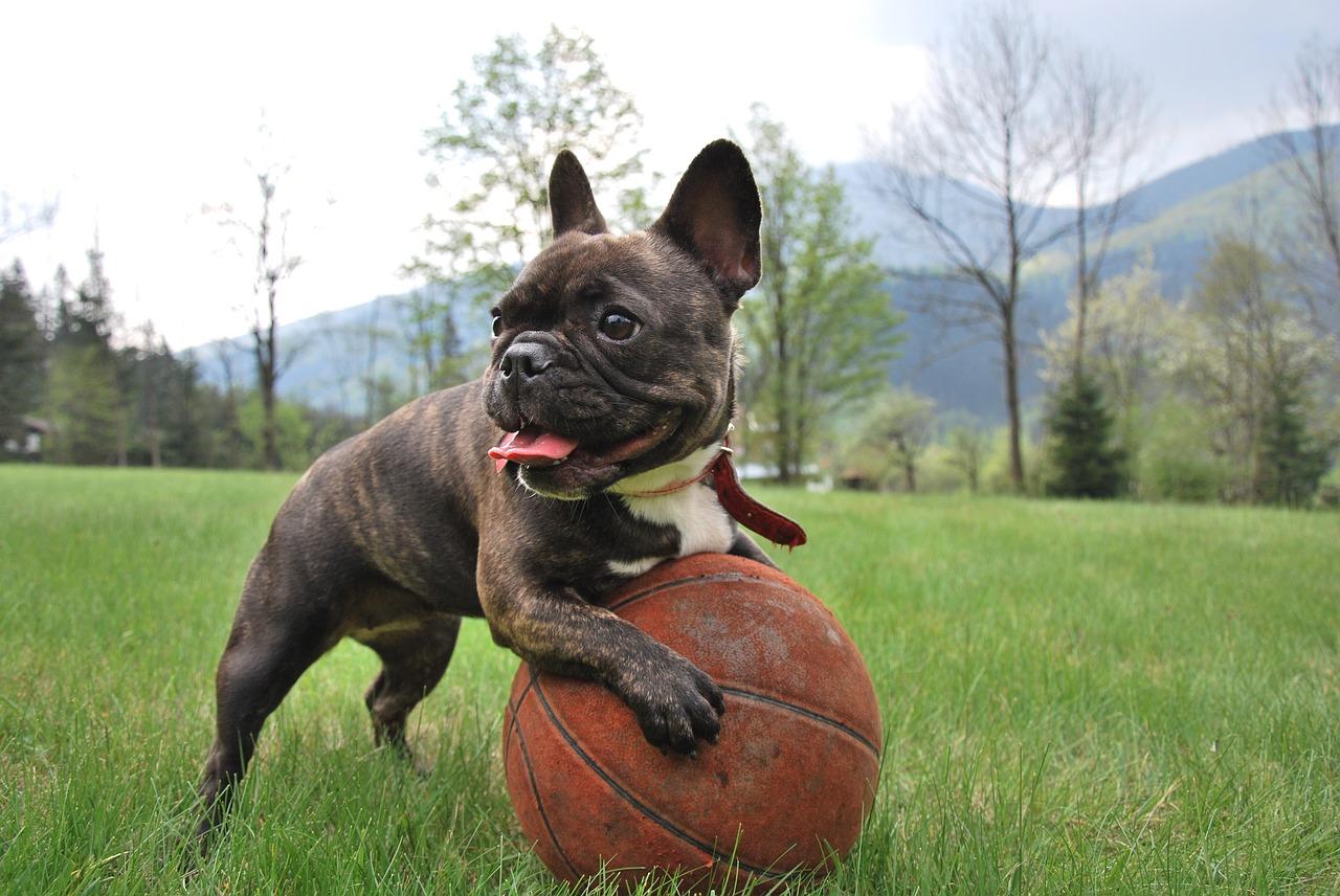 Die französische Bulldogge ist sehr verspielt.
