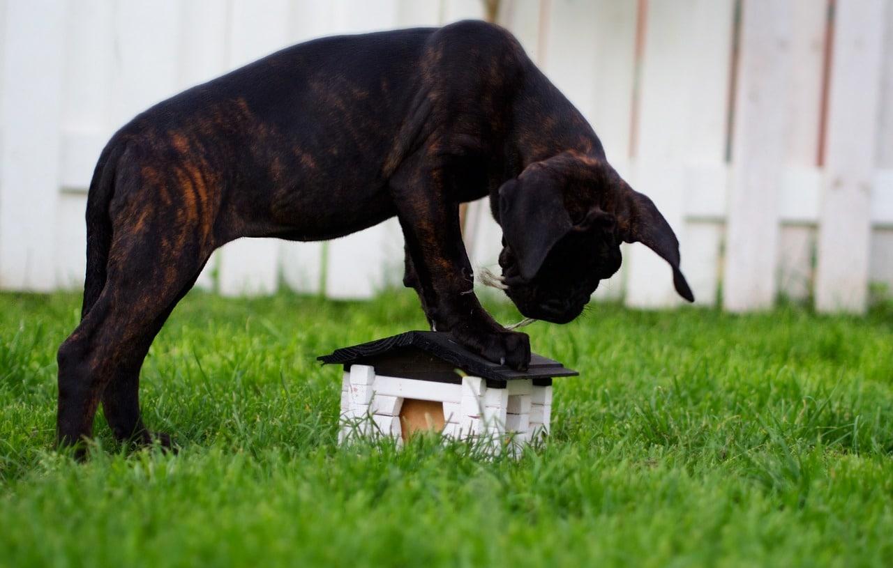 Der Cane Corseo ist keine Sportskanone.