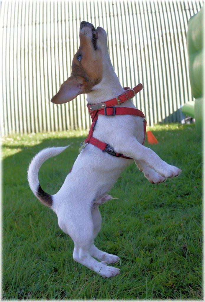 Jack Russell Terrier, die aktiven Energiebündel
