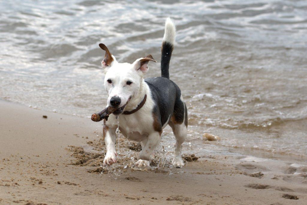 Jack Russell Terrier ein aktiver Vierbeiner