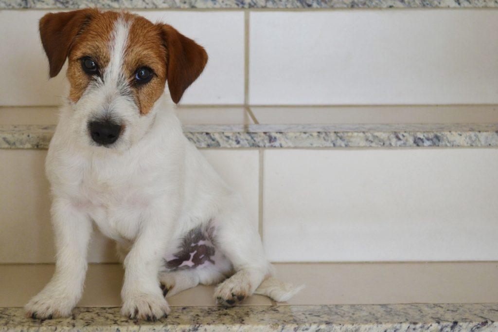 Jack Russell Terrier, die entzückenden Arbeitshunde