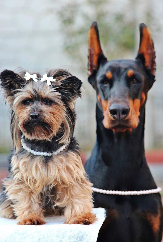 Yorshire Terrier benötigen einiges an Pflege