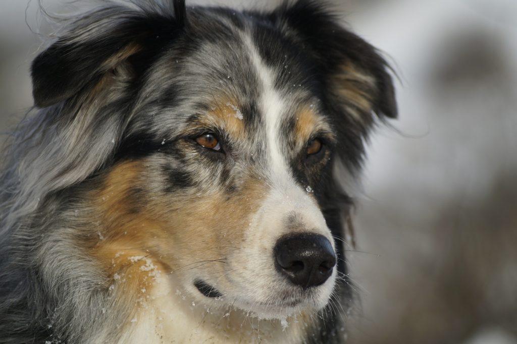 Australian Shepherd - treu, loyal und intelligent