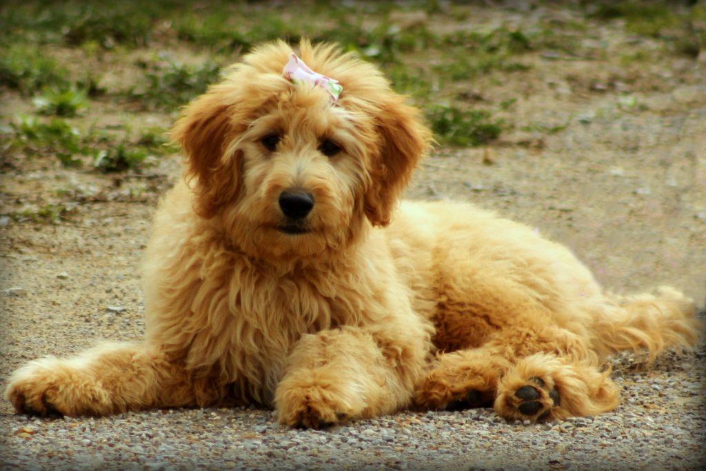 Der Goldendoodle, ein toller Hund für Allergiker